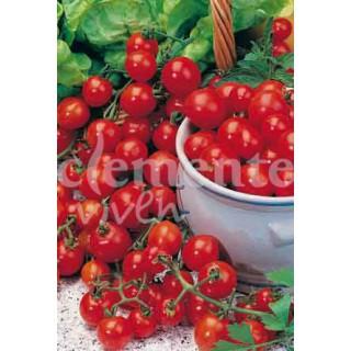 Ligustrum sinensis 10 años