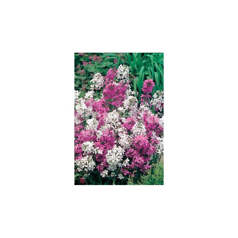 Abelia Floribunda M-18