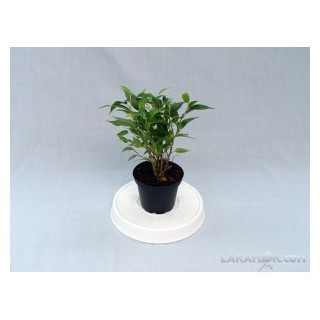 Crisantemo Árbol