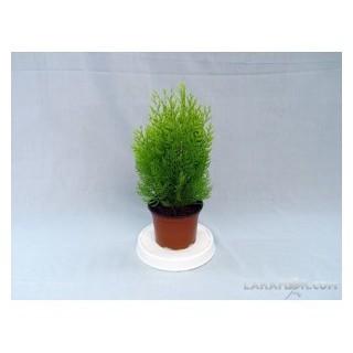 Cactus M-8.5 Flor