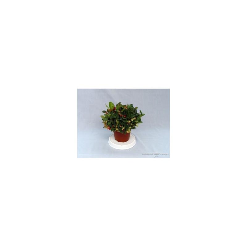 Cactus M-8.5