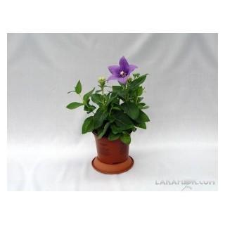 Ficus Benjamina M-9