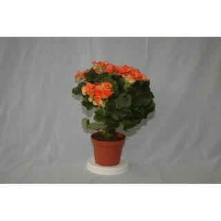Crisantemo M-12