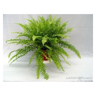 Euphorbia M-13
