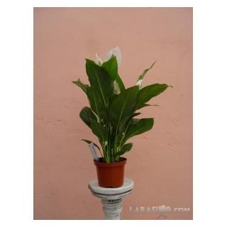 Begonia Rex M-13
