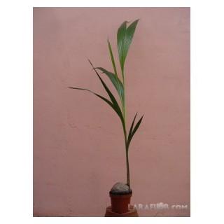 Gardenia Jasminoides M-13