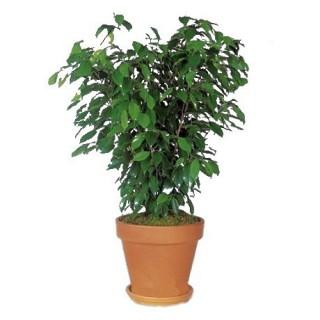 Ficus Benjamina M-14