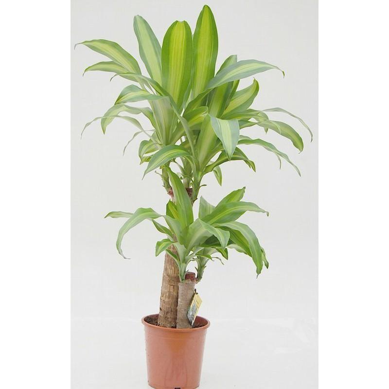 Ficus Robusta 3 Troncos M-17