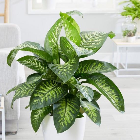 Planta Dieffenbachia tropic por 39,50€ en Viveros Laraflor