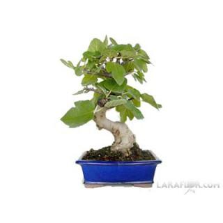 Ficus Benjamina 90 cm