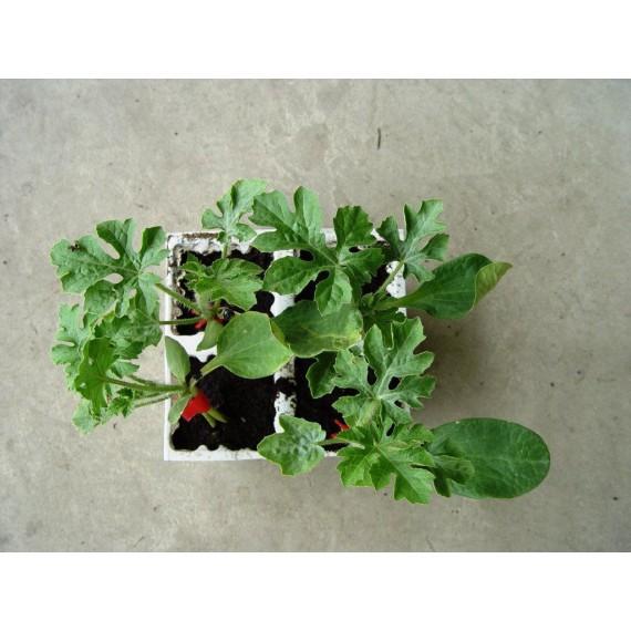 Plantas de Jardín, Terraza e Interior