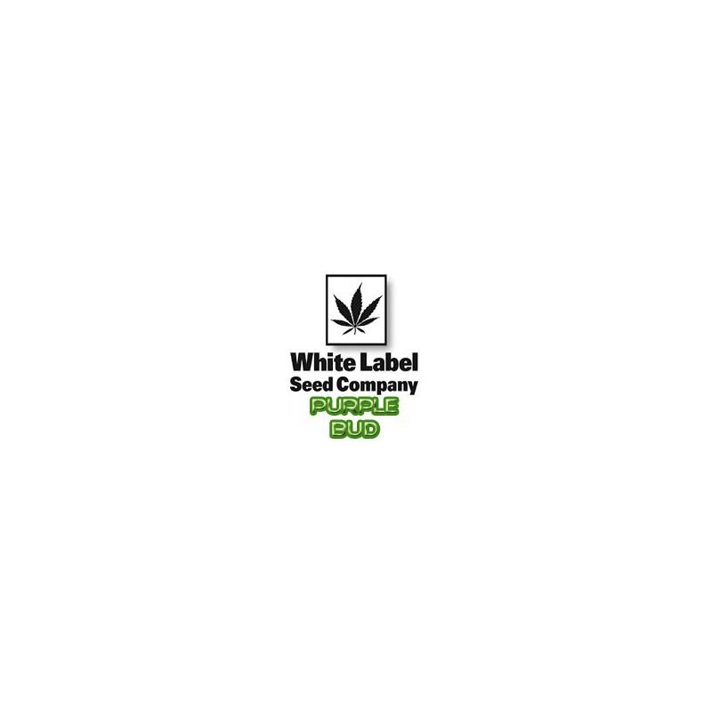 Semillas ecológicas de Acelga Verde Penca Blanca