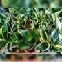 Sansevieria Pequeña