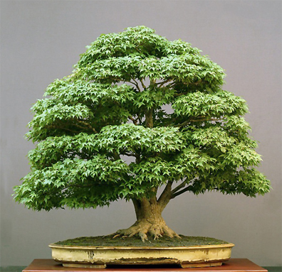 bonsai_de_walter_pall