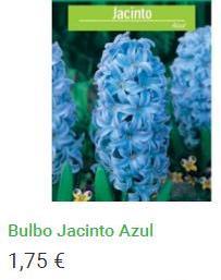 Bulbo Jacinto Azul