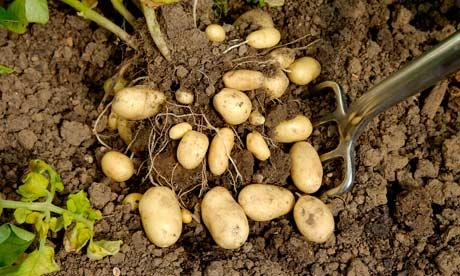 recolectar patatas